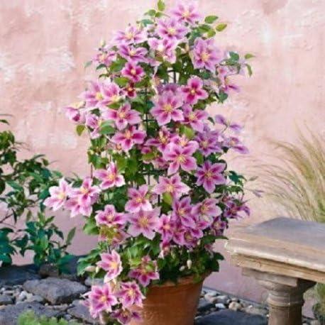 2 x Clematide Piilu – Maceta de 1.5 litro (Planta trepadora - Clematis - Planta adulta) - Resistente a las heladas: excelente | ClematisOnline: Amazon.es: Jardín