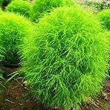 Pakhuis 100 Kochia Scoparia Grass Plants Seeds