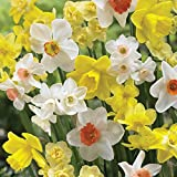 Burpee's Naturalizing Mix Daffodil - 150 Flower Bulbs | Multiple Colors