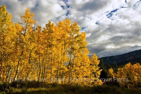 - Quaking Aspen Trees (Populus tremuloides) Live Potted Plants - 30-40 Inches Tall by Raflesa
