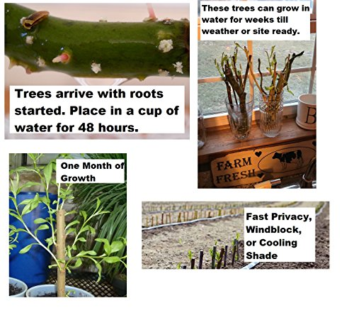 5 Willow Trees- Ready to Plant - 2 Weeping Willow Trees + 2 Austree Hybrid - Willow Trees + 1 Corkscrew Willow Tree - Indoor Outdoor Live Tree