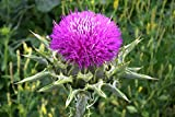 100 Seeds Purple MILK THISTLE Silybum Marianum Flower Seeds