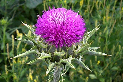 100 Seeds Purple MILK THISTLE Silybum Marianum Flower Seeds