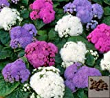 Special Mix Ageratum - 2400 Seeds - Floss Flower Dwarf - Separate Three col#1166
