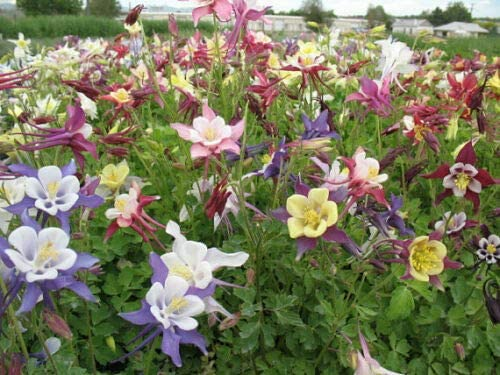 Amazon Com 30 Aquilegia Columbine Biedermeier Mix Flower Seeds