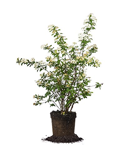 Bridal Wreath SPIREA - Size: 1 Gallon, Live Plant, Includes Special Blend Fertilizer & Planting Guide by PERFECT PLANTS (Image #9)
