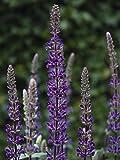 Deer-Leerious Salvia n. 'Caramia' (Sage) Perennial, Size-#1 Container, Violet-Purple Flowers