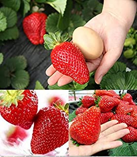 Plants, Seeds & Bulbs 50 Seeds Of large Giant Strawberry Seeds Vegetable Seeds