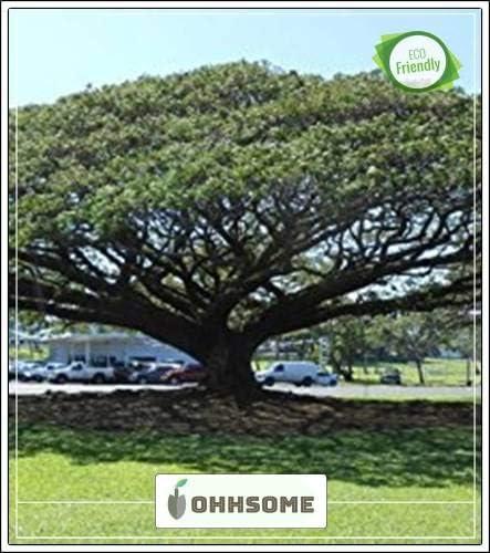 Seedsown Semillas de árboles de Sombra: Zygia Saman A - árbol de Sombra para una Semilla Jardín Hom Paquete: Amazon.es: Jardín
