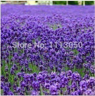100pcs lavanda Semillas jardín de hierbas de semilla de marihuana balcón semillas de flores Cuatro Estaciones