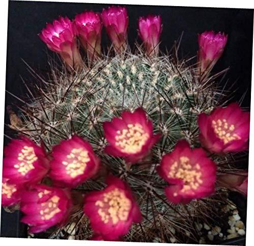 Cordillera One Light - GTF 3 Cactus Plants Sulcorebutia steinbachii v. bicolorispina - RK235