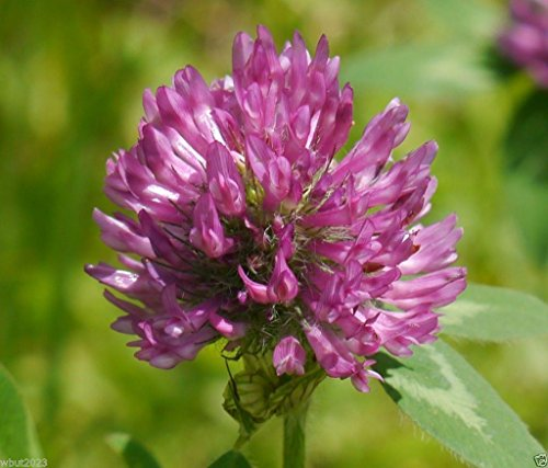 - Red Clover Seed,The best clover for poor soils.(Trifolium Pratense) Inoculated(1/4 Pounds Seed)