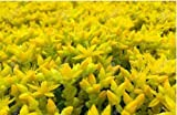 New Goldmoss Sedum GOLDEN ACRE SEDUM STONECROP GOLD MOSS Groundcover Flower 200+ Seeds