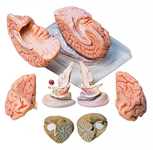 Deluxe Brain Model BS20 (Deluxe Brain Model)
