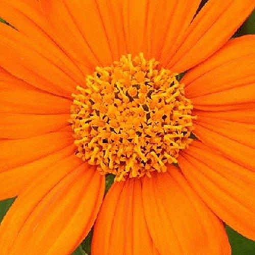 sunflower seeds bulk for planting - 7