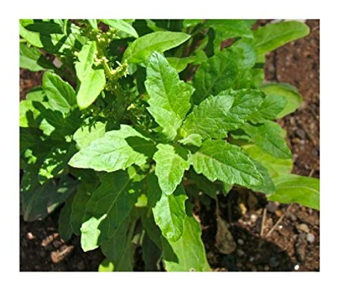 - David's Garden Seeds Herb Epazote SL4592 (Green) 100 Non-GMO, Organic Seeds