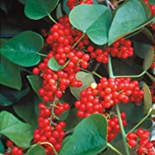 100 viable seeds of Schisandra chinensis, Magnolia Vine, five flavor berry