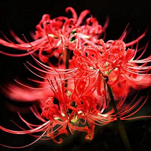 Red Flower Lycoris Radiata Bulbs Garden Plants Potted Bonsai Plant Lycoris Seed -50 pcs