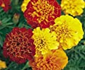 Red and Yellow Dwarf Marigolds - My Secret Gardens
