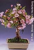 Tropica - Bonsai fiori e ciliegie ornamentali (Prunus serulata) - 30 semi
