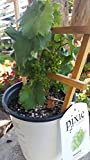 Pixie Grapes - Perfect for urban patio vineyard! - One of the cutest plants we've seen in years!