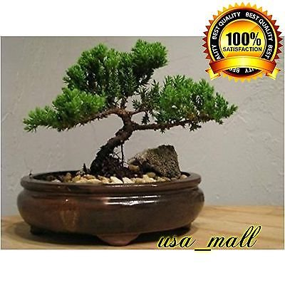Bonsai Tree Zen Juniper Little Live Nature Japanese Pot Indoor Plant Desk Xmas by gk_usa_mall
