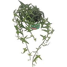 """Sagittarius English Ivy - Hedera helix Sagitifolia -4"""" Pot- Easy to Grow Indoors"""