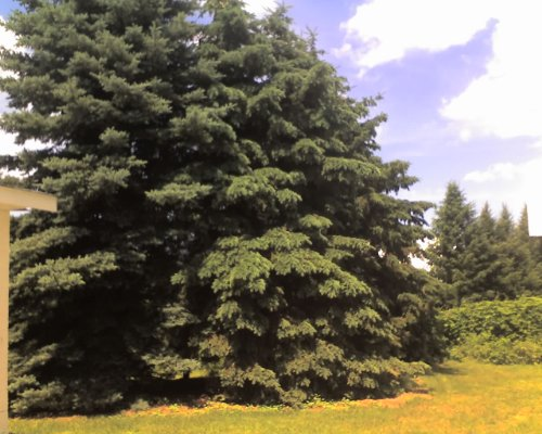 25 Blue Spruce (Picea pungens) 18-24