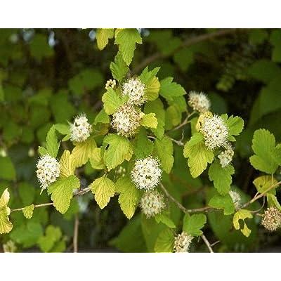 50 Eastern Ninebark Seeds, Physocarpus Opulifolius : Garden & Outdoor