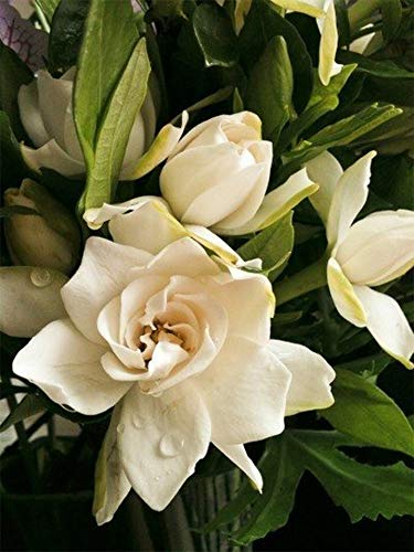 AMERICAN PLANT EXCHANGE Mini Gardenia Tree Miami Supreme Live Plant 6'' Pot Indoor/Outdoor Air Purifier by AMERICAN PLANT EXCHANGE (Image #2)