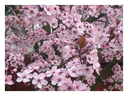 Thundercloud Plum Tree - 1 Gallon Pot - 1 Plant by Growers Solution ()