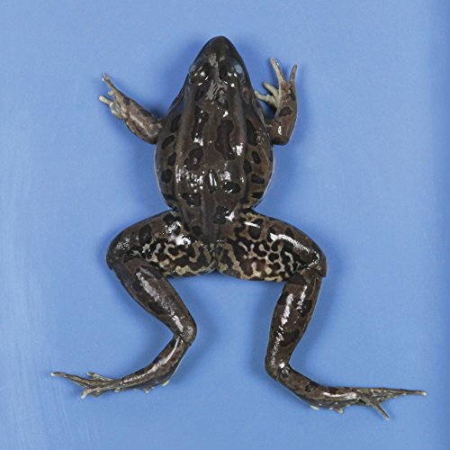 Preserved Frog, X-Jumbo Size, 4-5 inches long, sold in Pails