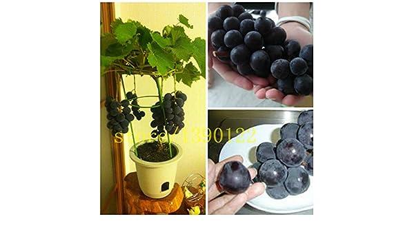 semillas de uva negro bonsai semillas de uva de fruta 50 ...