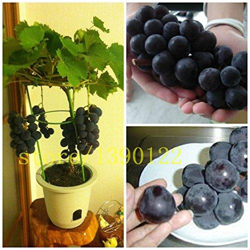 50/bag grape seeds bonsai fruit black grape seeds Dwarf grapes tree easy grow Japanese Dwarf fruit for home garden planting ()