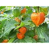 Chinese Lantern, Large Red/orange Flower Seed Pods, 60 Seeds! Groco*