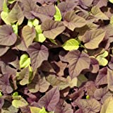 Sweet Caroline Ipomoea Batatas Morning Glory Sweet Potato Vine live 4 inch pot