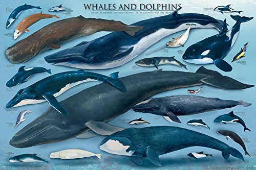 Whales and Dolphins Educational Ocean Animal Chart Poster Print