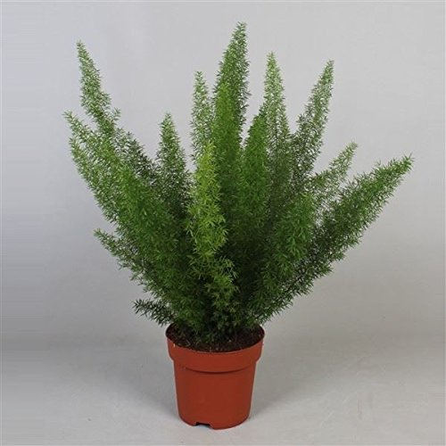 Asparagus densiflorus 'Myers' House Plant in a 14cm Pot. Foxtail Fern Perfect Plants