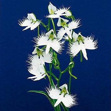 Soteer Seed House - Graines de fleur d\'oiseau blanches ...