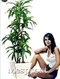 Dracaena Fragrans Seeds, Potted Balcony, Planting Seasons, Sprouting 98%(Dracaena fragrans) - 10pcs / lot