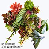 Live Succulent Cuttings 10 Assorted Varieties