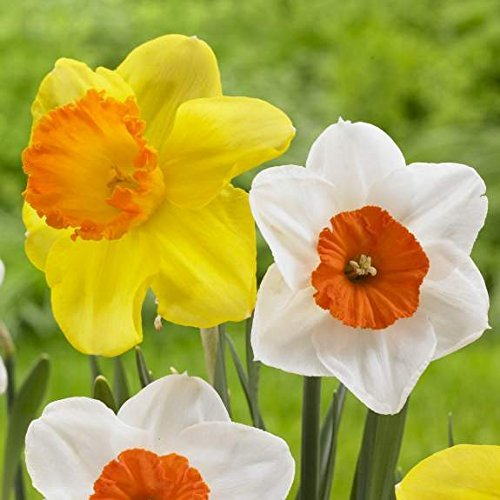 50 Large Cup Daffodil Narcissus Mix of Barret Browning and Red Devon Large Bulbs (not seeds) Blooms Mid Spring --> Deer Won't Eat