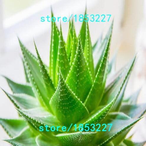 Amazon Com 100pcs Vegetables And Fruit Seeds Aloe Vera Seeds Edible Beauty Edible Cosmetic Bonsai Plants Seeds For Home Garden 49 1 Garden Outdoor