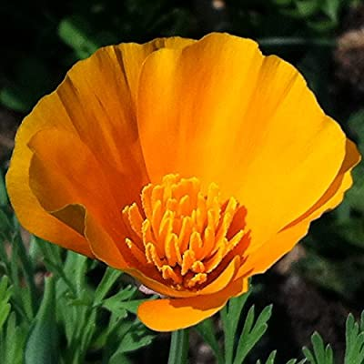 California Poppy Seed Balls - Bulk Seed Balls for Seed Bombing (Eschscholzia californica) - UPDATED RECIPE!