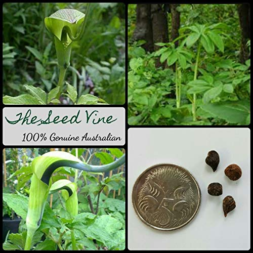 20+ Whipcord Cobra Lily Seeds (arisaema tortuosum) Insect Pitcher Plant