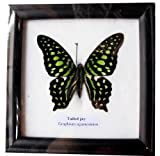 """RARE FRAMED REAL BEAUTIFUL TAILED JAY BUTTERFLY DISPLAY INSECT TAXIDERMY 5""""X5""""X1"""""""