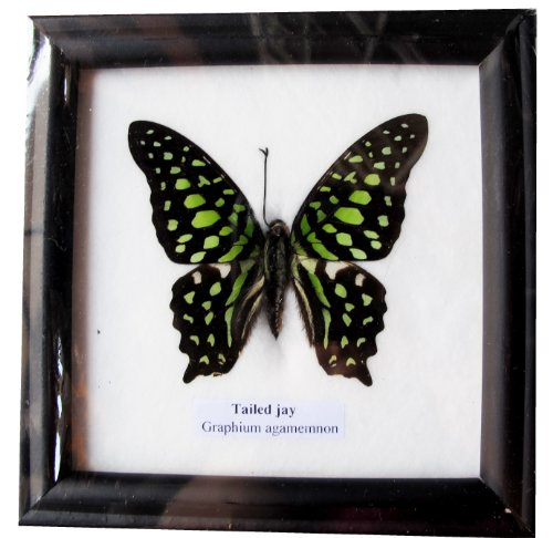 Air Framed - RARE FRAMED REAL BEAUTIFUL TAILED JAY BUTTERFLY DISPLAY INSECT TAXIDERMY 5