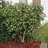 Fragrant Tea Olive Tree 15 Seeds (Osmanthus frangrans) Fragrant Flowers