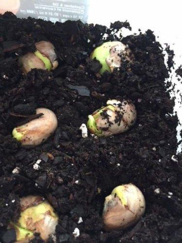 Tropical USA 2 semillas en germinaci/ón Semillas jaca