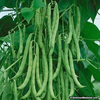 12 Seeds Premium Quality Kentucky Wonder Bush Green Bean Heirloom Fun to Grow! - Kentucky Wonder Bush Beans